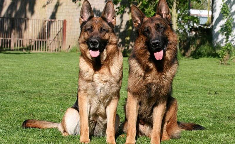 Schäfern är fortfarande Sverigesvanligaste hundras